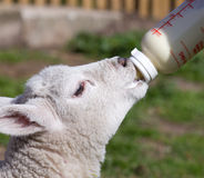 Jagnięcy karmienie od butelki Zdjęcia Royalty Free