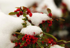 jagod czerwieni śnieg Zdjęcia Royalty Free