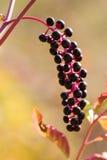 jagod decandia phytolacca purpury obrazy royalty free