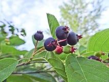 Jagoda shadberry dojrzewający Amelanchier Wiązka jagody na gałąź obraz stock