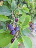 Jagoda shadberry dojrzewający Amelanchier Wiązka jagody na gałąź fotografia royalty free
