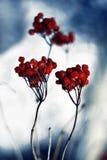 Jagodowa owoc Zdjęcie Stock