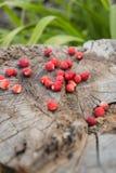 Jagodowe dzikie truskawki kłama na starym fiszorku Obraz Stock