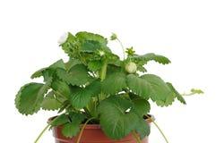 jagodowej rośliny surowy truskawkowy biel Obrazy Royalty Free