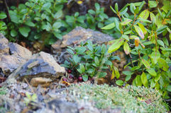 Jagodowi cranberries, dziki jagodowy organicznie Obraz Royalty Free