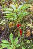 jagodowy śmiertelny jadowity zdjęcie royalty free