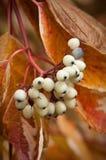 jagodowy biel Zdjęcie Stock