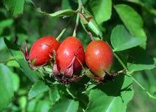 jagodowy biodro Obrazy Royalty Free