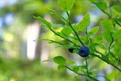 Jagodowy czarnej jagody zakończenie Zdjęcie Royalty Free