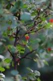 Jagodowy drzewo Zdjęcie Stock
