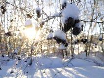 Jagodowy drzewo w zimie obrazy stock