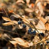 jagodowy las Zdjęcie Royalty Free