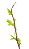 jagodowy nowego wzrostu łodygi wykazując Fotografia Stock