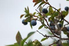 Jagodowy obwieszenie na czarnej jagody gałąź Zdjęcie Royalty Free