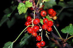 jagodowych owoc grupowa czerwień Obrazy Royalty Free