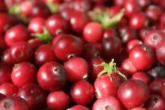 jagody żurawinowy zdjęcie stock