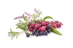Jagody agresta, blackcurrant i mennicy kwitnienie Zdjęcia Stock