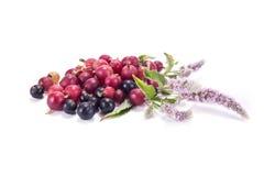 Jagody agresta, blackcurrant i mennicy kwitnienie Obrazy Stock