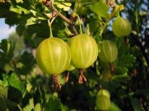 jagody agrestowe Obraz Stock