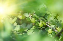 Jagody agrestowy dorośnięcie na gałąź krzak Obraz Stock