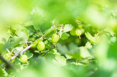 Jagody agrestowy dorośnięcie na gałąź krzak Obraz Royalty Free