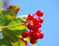 jagody czerwone Zdjęcia Royalty Free