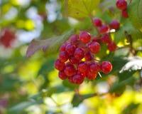 jagody czerwone Obrazy Stock