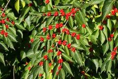 jagody czerwone Fotografia Royalty Free