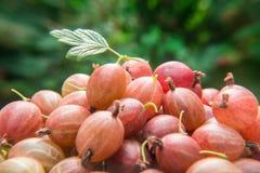 Jagody czerwony agrest na zamazanym zielonym tle Zdjęcia Stock