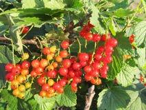 Jagody czerwony rodzynek zaświecali z światłem słonecznym Fotografia Royalty Free