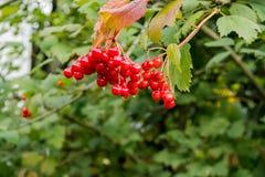 Jagody czerwony viburnum na gałąź z liśćmi po deszczu Krople woda na jagodach Obrazy Royalty Free