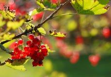 jagody dojrzały porzeczkowy czerwony Obraz Stock