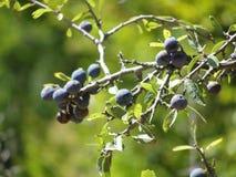 jagody dziki błękitny Zdjęcie Royalty Free