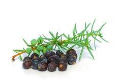 jagody gałąź zieleni jałowiec Obraz Stock