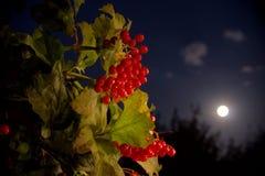 jagody księżycowe Zdjęcie Stock
