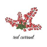 jagody nadal życia porzeczkowa czerwony ilustracja wektor