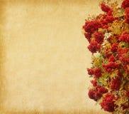 Jagody Rowan drzewo. Obrazy Royalty Free