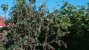 Jagody shadberry w ogródzie zdjęcie wideo