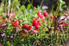 Jagody w jesień lesie Zdjęcia Royalty Free
