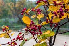 Jagody w jesieni Zdjęcia Royalty Free