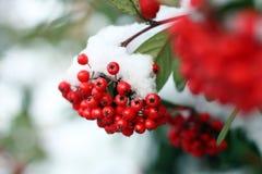 Jagody w śniegu Zdjęcie Royalty Free