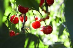 Jagody zaświecać z lata światłem słonecznym wiśnia Fotografia Stock