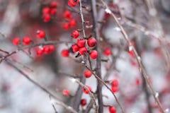 jagody zakrywali czerwień śnieg Obrazy Royalty Free
