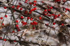 jagody zakrywali czerwień śnieg Obrazy Stock