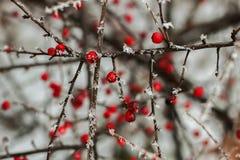 jagody zakrywali czerwień śnieg Obraz Royalty Free