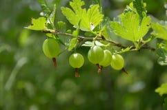 Jagody zielenieją agresty na rozmytym zielonym tle Obraz Stock