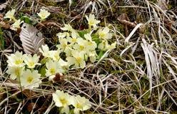 Jagorcevina Primula vulgaris, pierwszy wiosny góra kwitnie zdjęcia stock