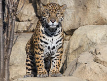 Jaguar. The jaguar (/ˈdʒæɡwɑr/ or UK /ˈdʒæɡjuː.ər/; Panthera onca) is a big cat, a feline in the Panthera genus, and is the only Panthera species Stock Photo