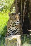 Jaguar. Close up of a Jaguar (Panthera onca) in forest Stock Photos