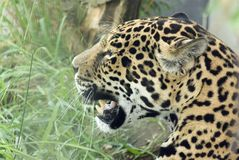 Jaguar. (Pantera onca) looking to the right Royalty Free Stock Images